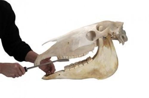 Temakveld: Hestens munn og tenner